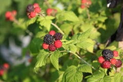 pruning-black-raspberries