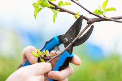 pruning-cherry-trees
