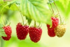raspberry-season