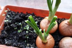 replanting-onions