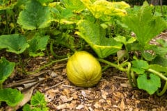 squash-leaves-turning-yellow