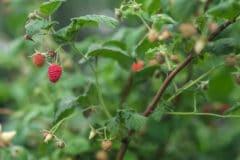 title-raspberry-vines