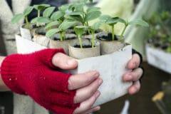 transplanting-cucumbers