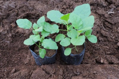 transplanting-eggplant