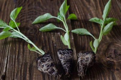 transplanting-peppers