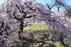 weeping-cherry-tree-care