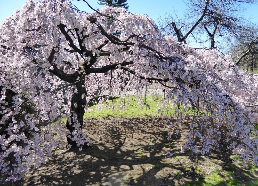 Weeping Cherry Tree Care Tips For Happy Healthy