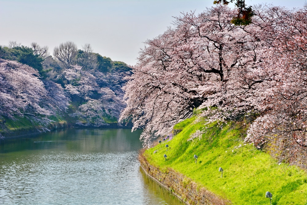 Weeping Cherry Tree Facts Top Tips