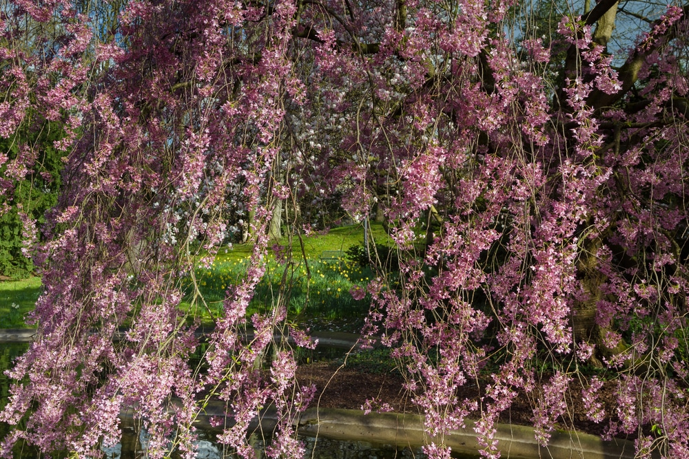 Weeping Cherry Tree Size All The Facts