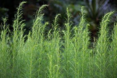 when-to-cut-back-asparagus