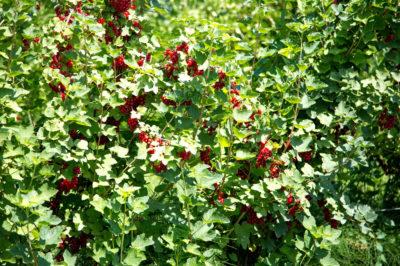 when-to-fertilize-raspberries