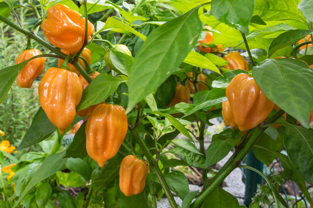 When to pick habanero peppers top picking tips What to do with habanero peppers from garden