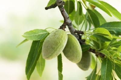where-do-almonds-grow
