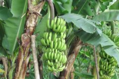 where-do-banana-trees-grow