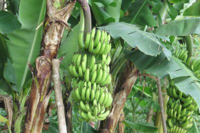 where-do-banana-trees-grow