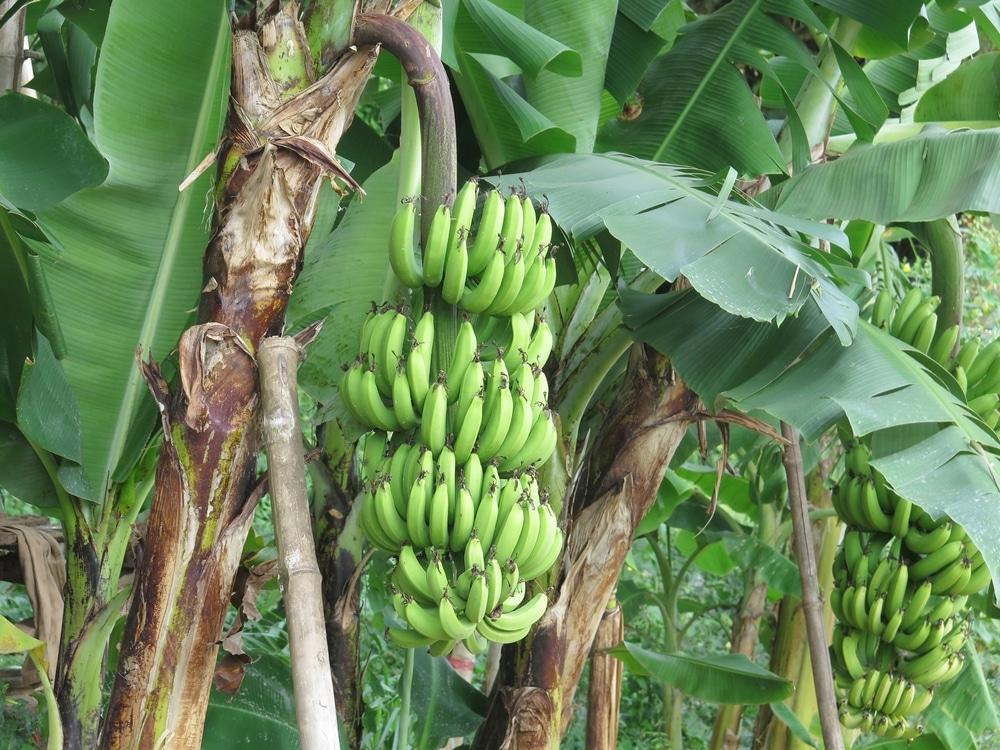 Where Do Banana Trees Grow Facts Tips