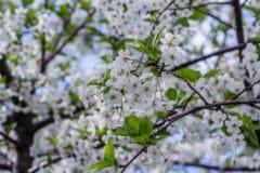 where-do-cherry-trees-grow