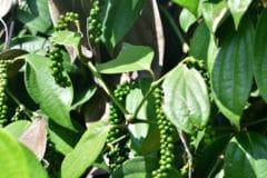 where-do-peppercorns-grow