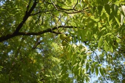 where-do-walnuts-grow