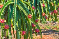 where-does-dragon-fruit-grow