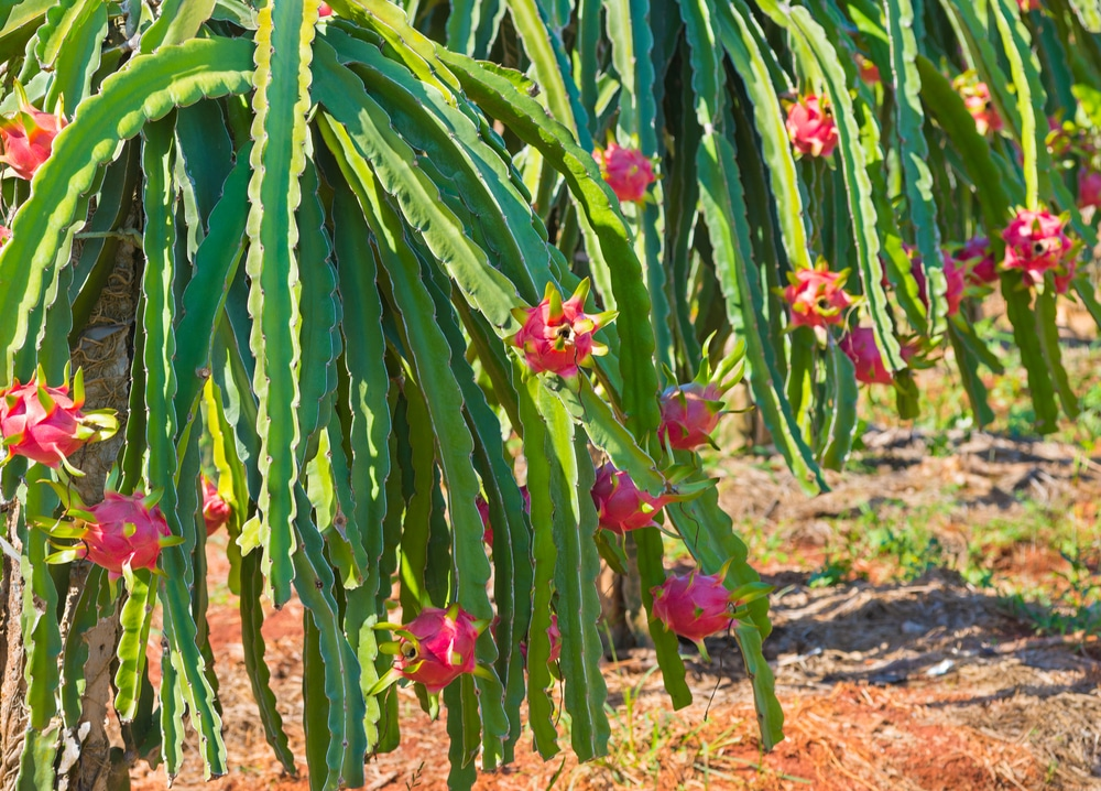 Where Does Dragon Fruit Grow? » Top Facts & Tips