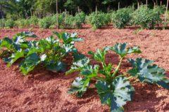 zucchini-plant-size