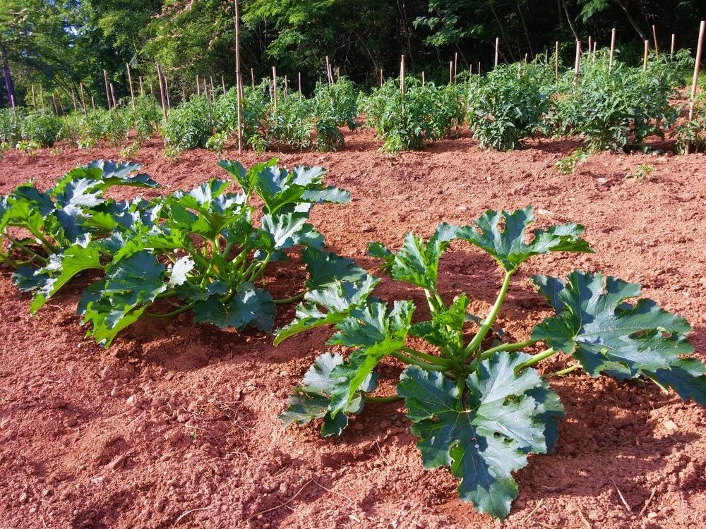bush zucchini plant
