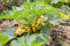 zucchini-plants-turning-yellow-2
