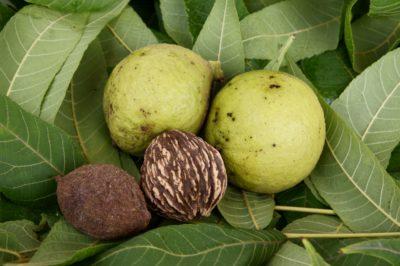 black-walnut-seedlings