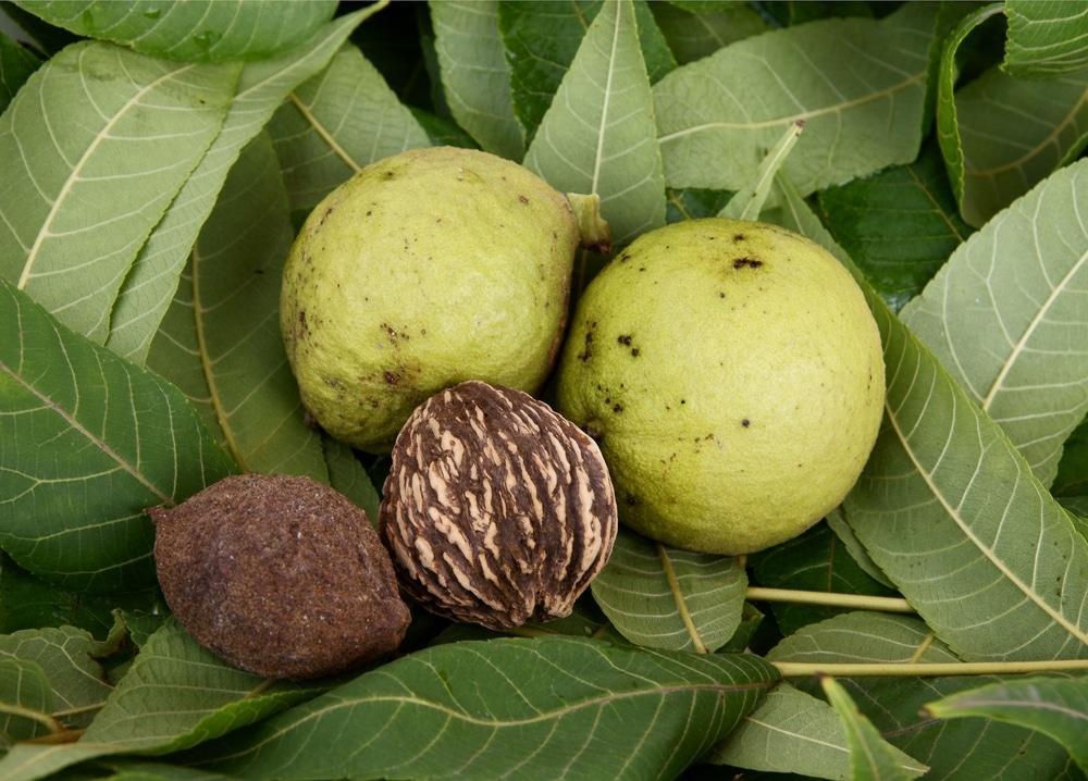 Black Walnut Seedlings » Top Tips & Facts