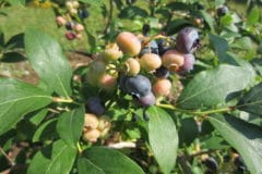 blueberry-bush-care