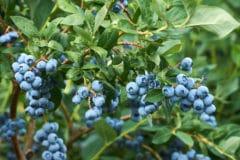 blueberry-fertilizer