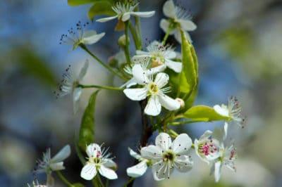 bradford-pear-flower