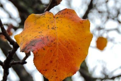 bradford-pear-tree-diseases