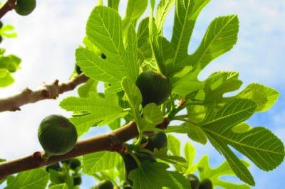 brown-turkey-fig-tree-care