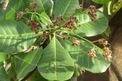 cashew-flower
