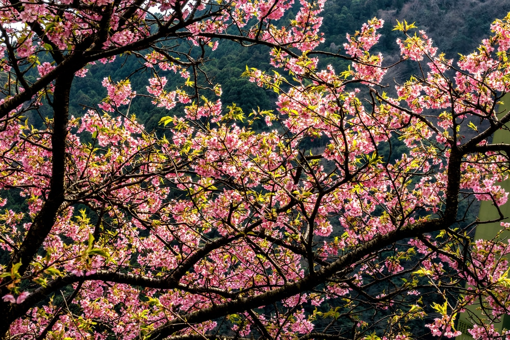 Cherry Blossom Tree Care Tips For Ornamentals