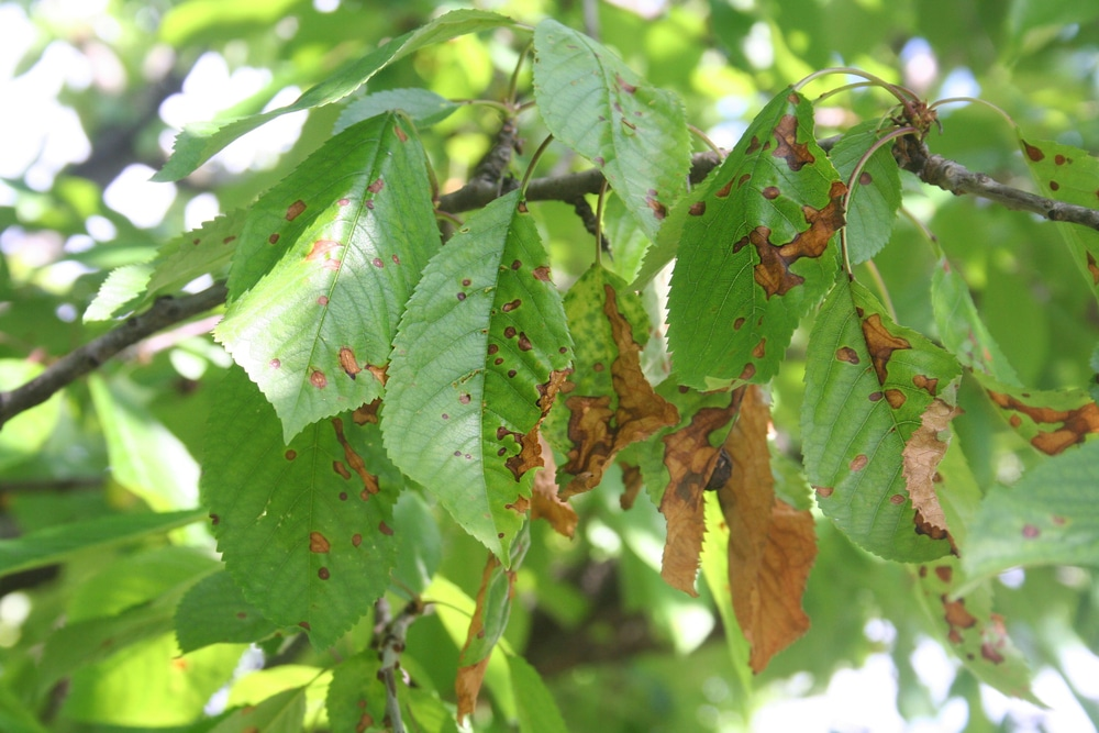 Cherry Leaf Spot Tips On Identification Control