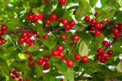 cherry-tree-fertilizer