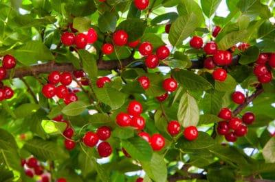 cherry-tree-fertilizer
