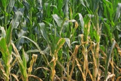corn-diseases