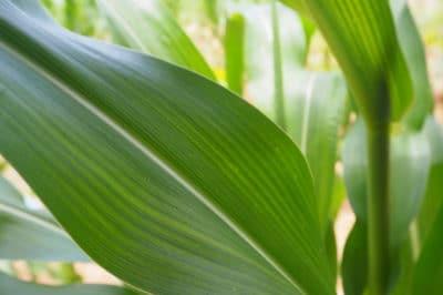 corn-leaves