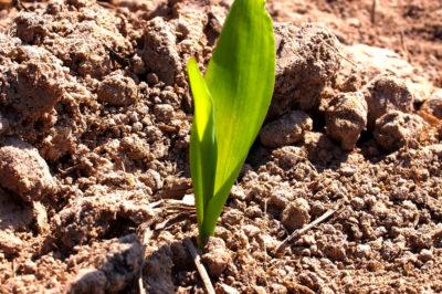 corn-seedling