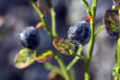 difference-between-huckleberry-and-blueberry
