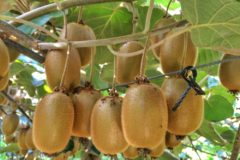do-kiwis-grow-on-trees