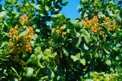 do-pistachios-grow-on-trees