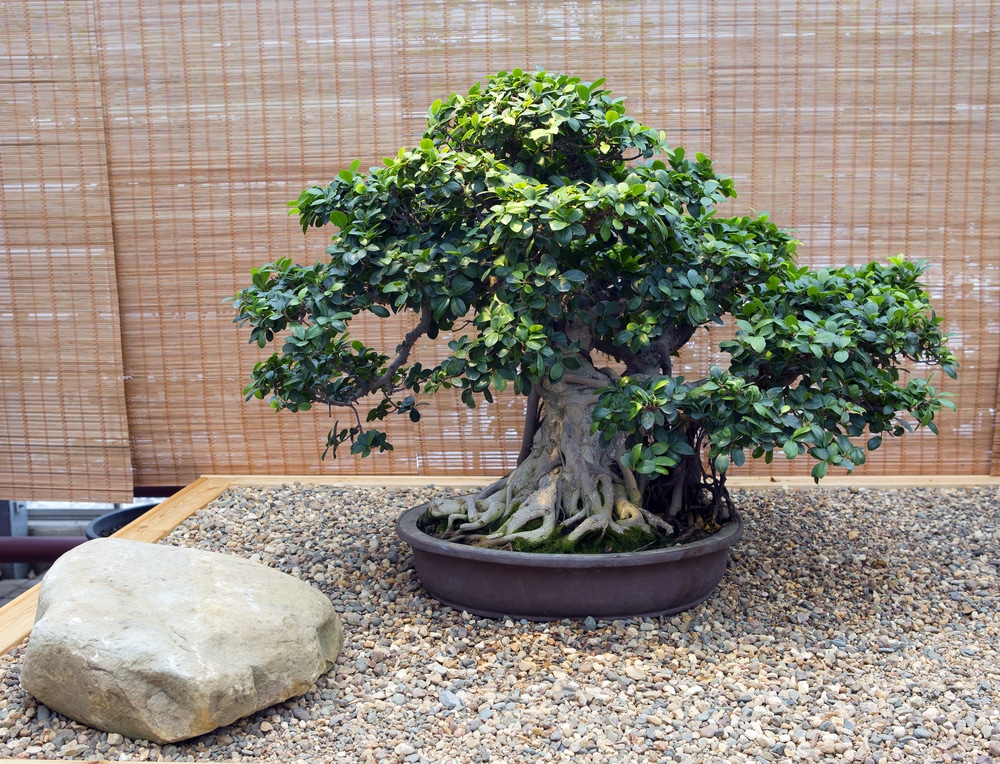 Fig Bonsai Tips On Keeping Things Small