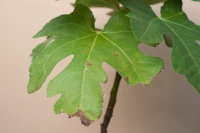 fig-tree-diseases