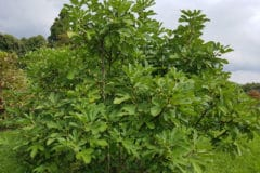 fig-tree-fertilizer