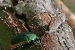 figeater-beetle